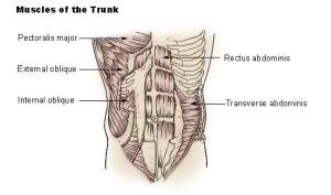 Illu_trunk_muscles