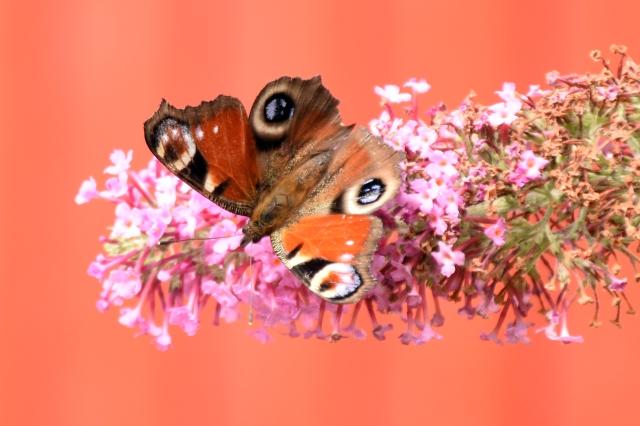 1 Fjäril