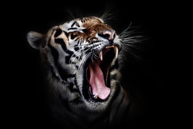 Tiger Head Cat Animal Feline Wildlife Wild
